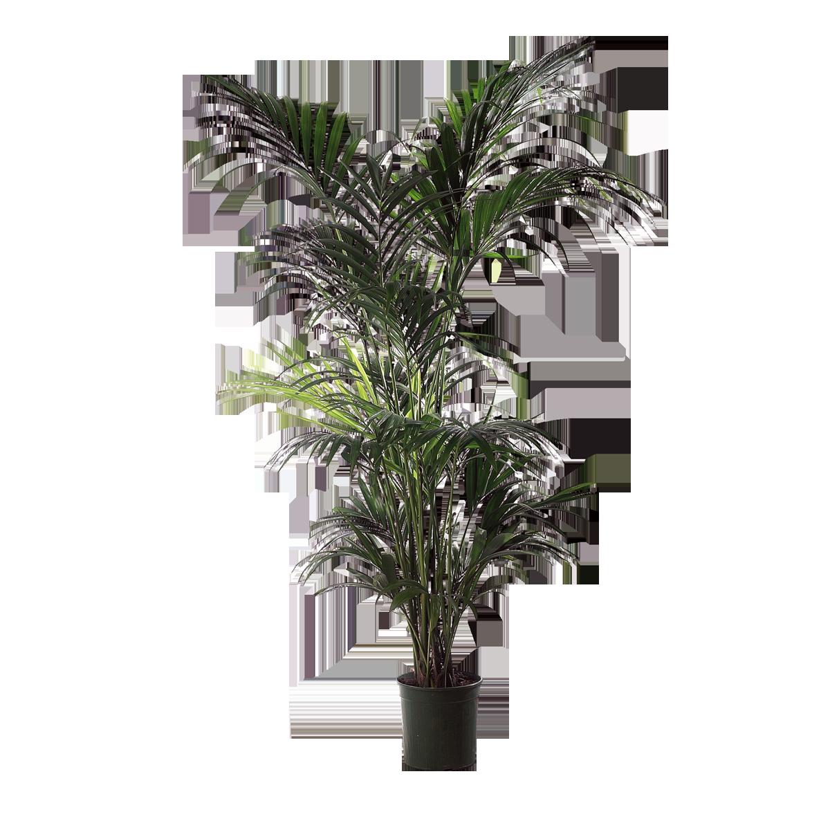 plante palmier femat pour ma f te je suis par. Black Bedroom Furniture Sets. Home Design Ideas